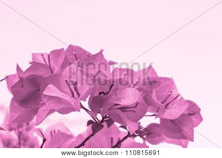 Selective Focus Of   Purple Bougainvillea Flowers With Filter Color