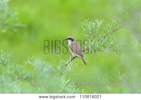Red-backed Shrike Preys On A Green Meadow