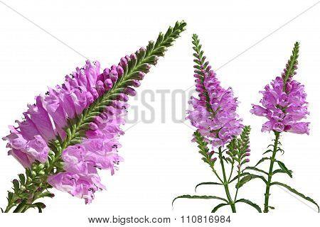 Physostegia  Virginiana Flower