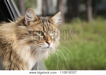 Head Cat  Out Of A Car Window  In Motion