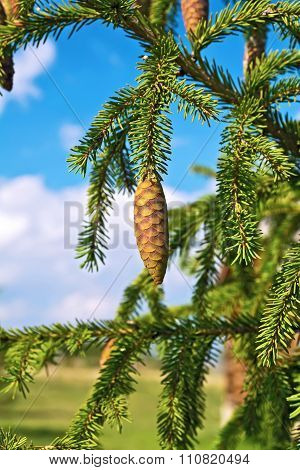 Spruce Cones On A Branch