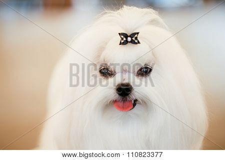 Shih Tzu White Toy Dog