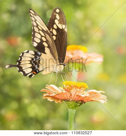 Dreamy image of a Giant Swallowtail butterfly feeding on a flower