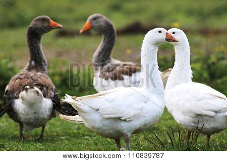 Domestic Geese Graze On Traditional Village Goose Farm