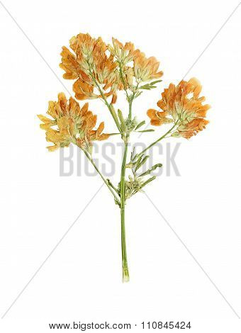 Pressed And Dried Flower  Red Clover Or Trifolium Pratense