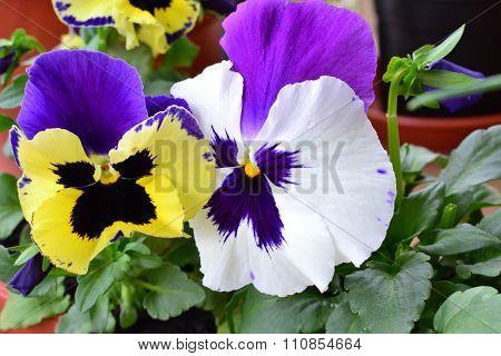 Pansies  (viola Tricolor) Closeup