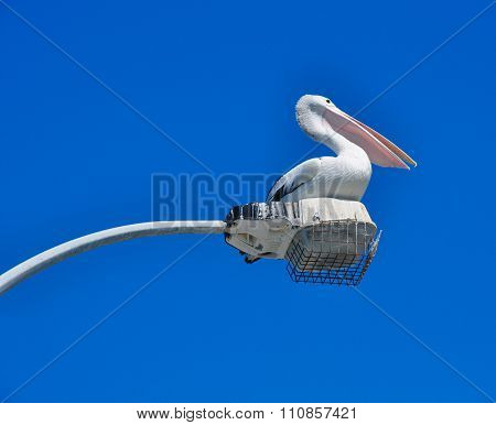 Australian Pelican: Elongated Beak