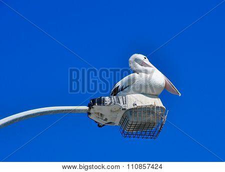 Australian Pelican: Arvo Break