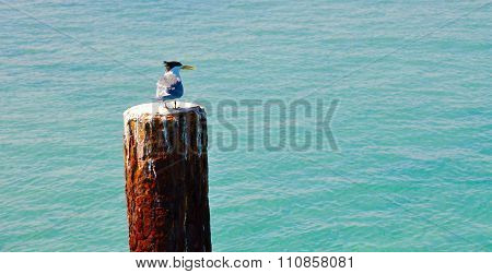 Crested Tern: Coastal Waters