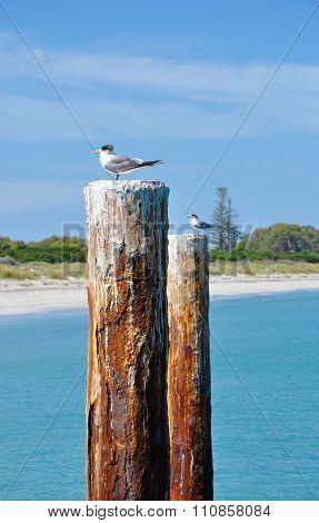 Crested Terns: Australian Wildlife