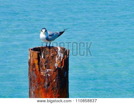 Crested Tern: Turquoise Waters