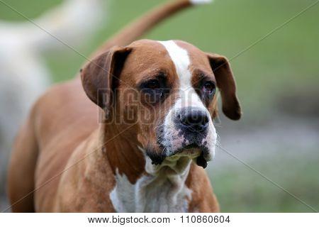 American Bulldog Posing For The Camera