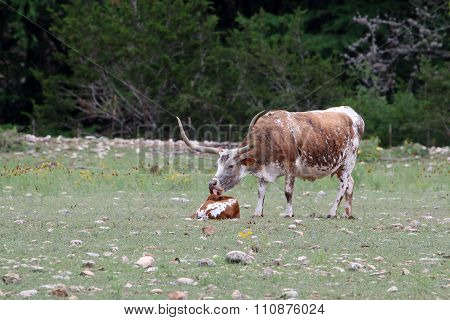 Mama Longhorn with Calf