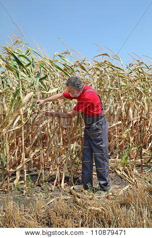 Agricultural Scene, Farmer Or Agronomist Inspect Damaged Corn Field