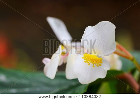 Closeup photo of Begonia x hybrida, Baby Wing White flower with yellow stamen