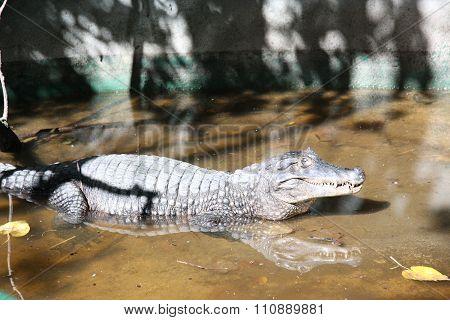 Aligator in swamp pool