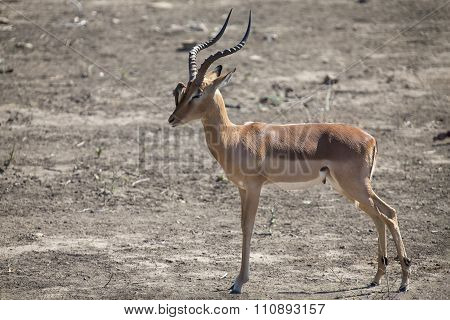 Impala Ram With Oxpeckers On His Face Cleaning Parasites