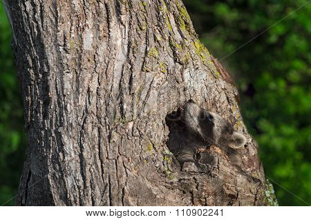 Young Raccoon (procyon Lotor) Looks Up Tree