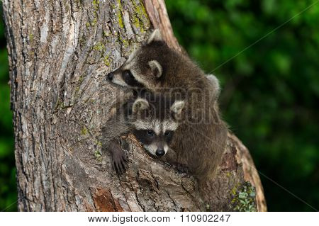 Young Raccoon (procyon Lotor) Being Climbed Over By Sibling