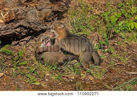 Two Grey Fox Kits (urocyon Cinereoargenteus) Fight
