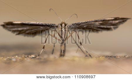 Common plume moth (Emmelina monodactyla)