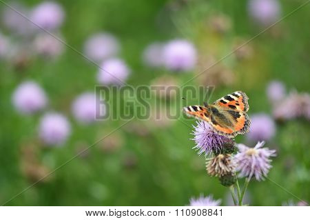 Small tortoiseshell (Aglais urticae) on creeping thistle (Cirsium arvense)