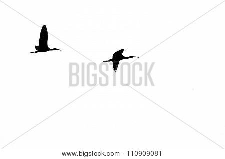 Pair Of Silhouetted White-faced Ibis Flying On A White Background
