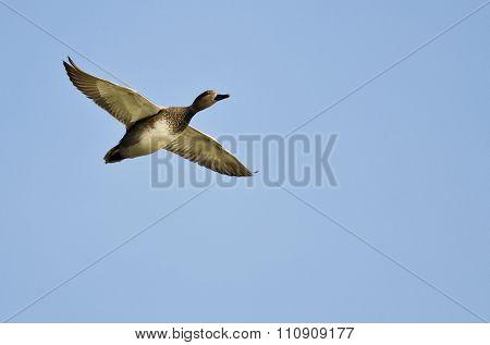 Single Gadwall Flying In A Blue Sky