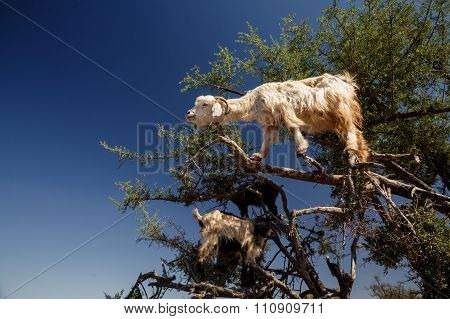 incredible tree-climbing goats
