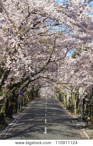 Tunnel of cherry blossoms in Izu highland Shizuoka Japan