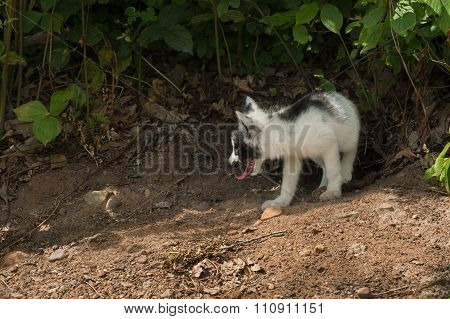 Marble Fox (vulpes Vulpes) Looks Left