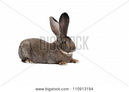 Purebred rabbit Belgian Giant on white background