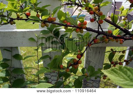 Nanking Cherries