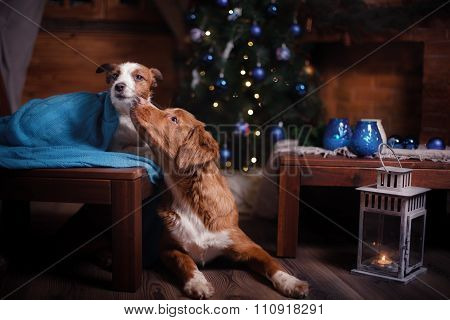 Dog Jack Russell Terrier And Dog Nova Scotia Duck Tolling Retriever Holiday