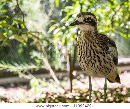 Close up of a bush stone curlew cleland wildlife