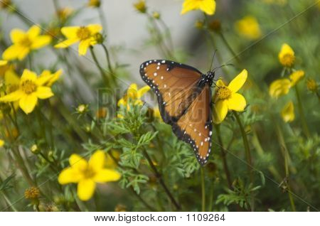 Queen Butterfly On Yellow Flowers Pct1412