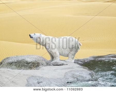 Polar Bear Surrounded By Desert Sands