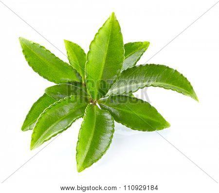 Leaves of green tea