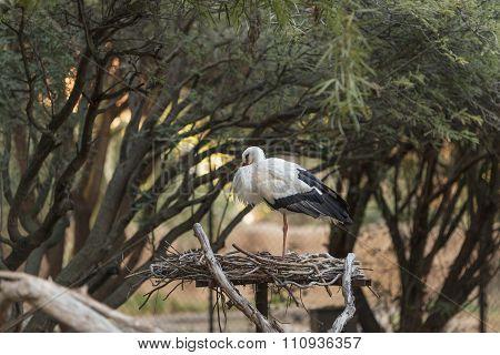European White stork, Ciconia ciconia, bird