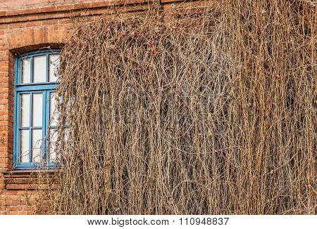 Window, Overgrown With Vegetation