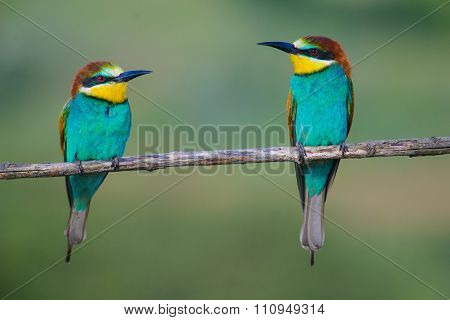 Golden bee-eater3