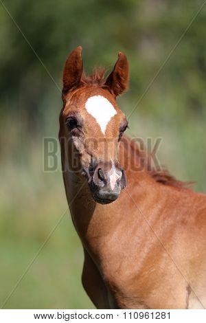 Close Up Of A Cute Arabian Breed Foal