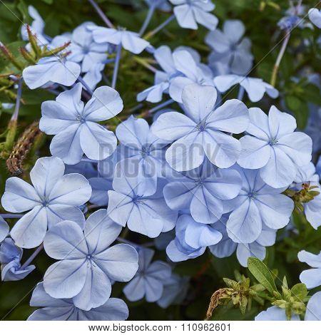 light blue jasmine flowers bouquet closeup
