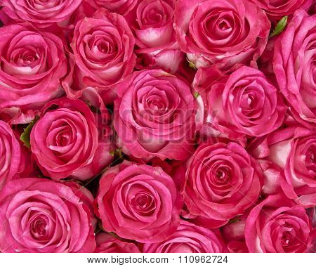 fresh rose flowers closeup natural background