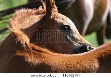 Portrait Of A Few Weeks Old Chestnut Arabian Foal