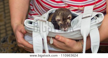 Ferret In The Bag