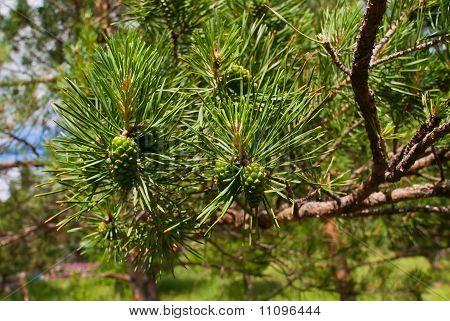 Green Strobile