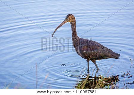 Glossy Ibis - Merritt Island, Florida