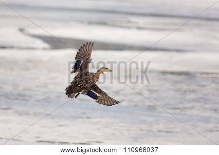 Duck Flying Over The Ice