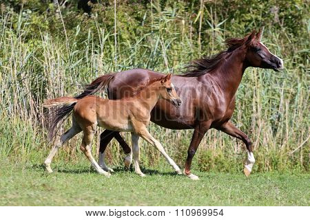 Arabian Breed Foal And Mare Galloping In A Meadow